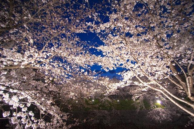 『日本三大夜桜』の名所・弘前公園