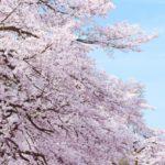 日本三大巨桜>三春滝桜、薄墨桜、神代桜
